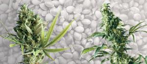 Sursa foto : http://hashmuseum.com/cannabis-ruderalis